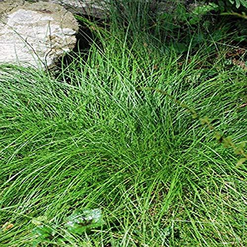 Perennial Farm Marketplace Carex appalachica (Appalachian Sedge) Ornamental Grass, 1 Quart, Green Foliage