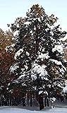 Asklepios-seeds - 100 Samen Pinus sibirica/siberica, Sibirische Zirbelkiefer