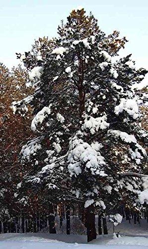 Asklepios-seeds® - 100 Samen Pinus sibirica/siberica, Sibirische Zirbelkiefer