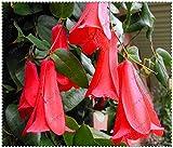 Nueva Rare 300 PC / bolsa chilena Bellflower (Lapageria rosea) Semillas, árbol de hoja perenne, dura, sombra parcial, jardín de flores de plantas de bricolaje