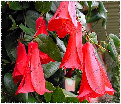 New 300 Pcs / sac Rare chilienne Bellflower (Lapageria rosea) Graines, à feuilles persistantes, durables, mi-ombre, fleur plante de jardin Bricolage