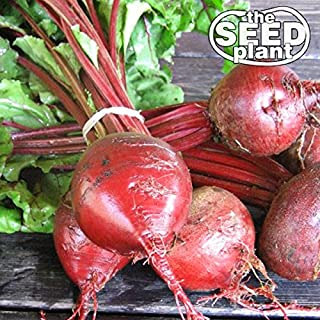 Early Wonder Beet Seeds - 100 Seeds Non-GMO