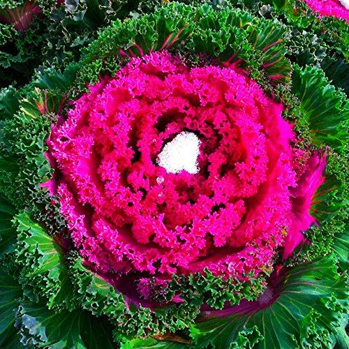 50 graines / paquet pot de fleurs et de plantes à feuillage Kale graines très nutritives graines de légumes pour la maison jardin Four Seasons semis