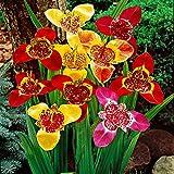 25x Tigridia pavonia | Fiore di Tigre | bulbi di fiori estivi | 7-9 cm