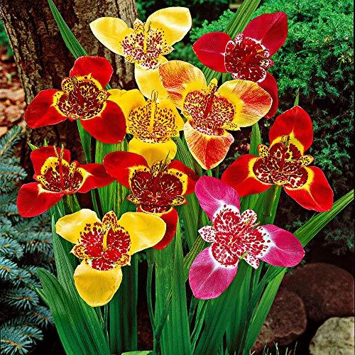 25x Tigridia pavonia   Tigerblume   Sommerblüher Blumenzwiebeln   7-9 cm