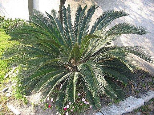 Portal Cool Cycas Revoluta - Der Palmfarn - 5 große und schwere Seeds