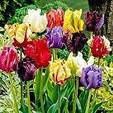 Blumenzwiebeln (20 X Tulpen PAPAGEIEN MIX)