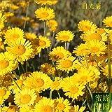 Promotion de la vente directe d'été Blooming Plantes Exclu Lumière du jour régulier Graine Race Plant topinambour 100 graines