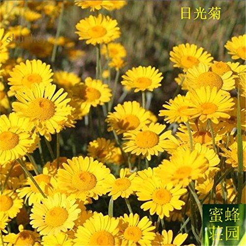 Daylight Chrysanthemum Samen Blume Pflanze Rennen Topinambur Samen 100 Samen