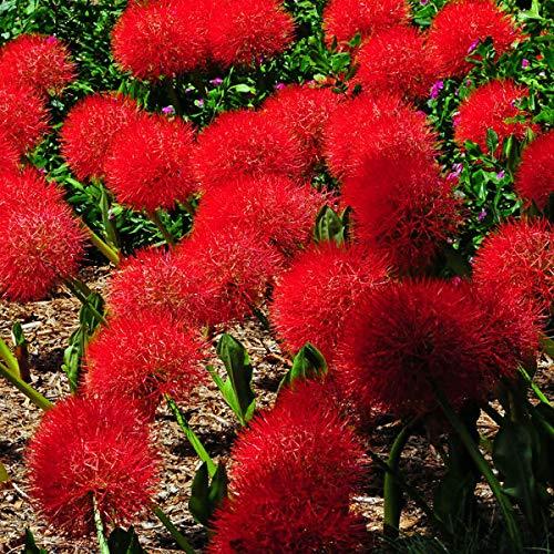 FERRY Bio-Saatgut Nicht nur Pflanzen: 2 Lily Scadoxus Multiflorus Haemanthus RHIZOM Rare