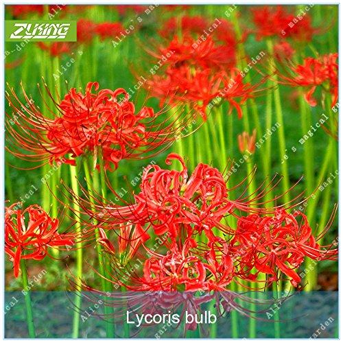 ZLKING 2 Birnen Lycoris Radiata Seltene Chinesische Rote Blumenzwiebel-Topf Palnt Perennial pflanzende Bonsais Blumen-Samen Für Hausgarten