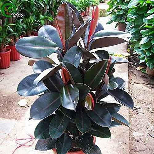 Tout neuf! Hévéa Bonsai Cour Potted jardin Bonsai plantes 1 pcs graines de l'espoir