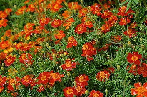 AIMADO Samen-100 Pcs Bio Speisetagetes Samen,Polster-Studentenblume bienenfreundlich Blumensamen,essbare Blüten und Blattspitzen