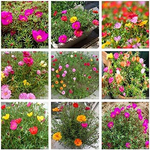 Semillas de Flores perfumadas,Balcón de Semillas de Girasol en Maceta 200 cápsulas 1 Paquete-Blanco Amarillento_2 Bolsas