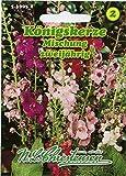 Königskerzen Mischung,Verbascum phoenicum, für ca. 40 Pflanzen