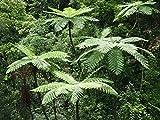Lacy Helecho de árbol (Cyathea Cooperi) - 25+ Fresca de esporas (Semillas) - Hardy Rápido Crecimiento!