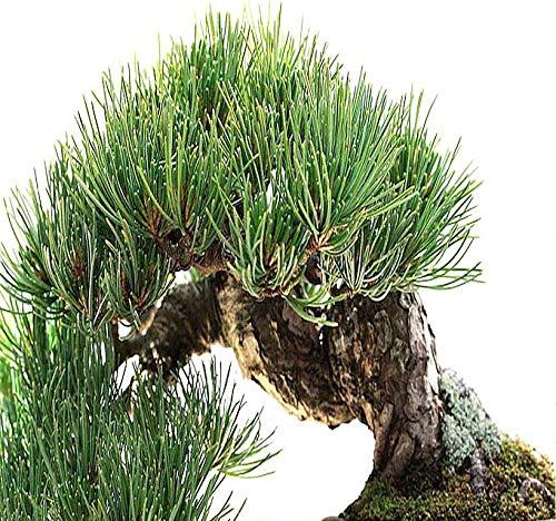 Big Pack Bonsai Tree Seeds - Rocky Mountain Bristlecone Pine Tree (120 Seeds) - Pinus aristata Pine Tree Seeds - Non-GMO Seeds by MySeeds.Co (Big Pack - Bristlecone Pine)