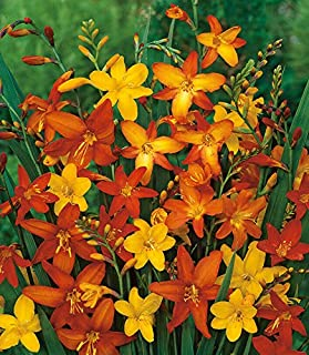 15 Bulbs Crocosmia Mix Color Flower Bulbs Summer Blooming Perennial for Planting