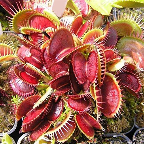500 kapseln Venus Fliegenfalle Anlage Samen Hohe Überleben Rate Exotische Insektenfressende Anlage Samen Fleischfressende Pflanzen Samen