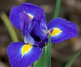 50 IRIS HOLLANDICA - Blue Magic - Dutch IRIS Bulbs - Perennial Flower Bulbs for Border Patio Rockery Garden