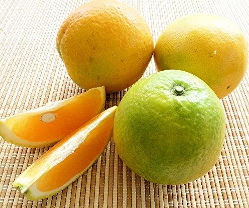 和歌山県産 バレンシアオレンジ M・Lサイズ 5kg めずらしい国産オレンジです