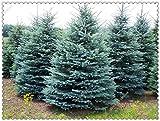 100pcs / bolsa de semillas de árboles de abeto azul del árbol de Navidad muy bonito para el bricolaje mejor regalo de los childs, jardín de su casa Bonsai Plant