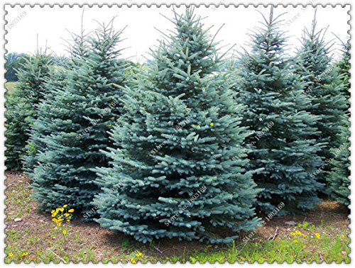 100pcs / sac de graines d'arbres de sapin bleu Arbre de Noël très beau pour le meilleur cadeau bricolage pour enfants, Bonsai Usine maison jardin