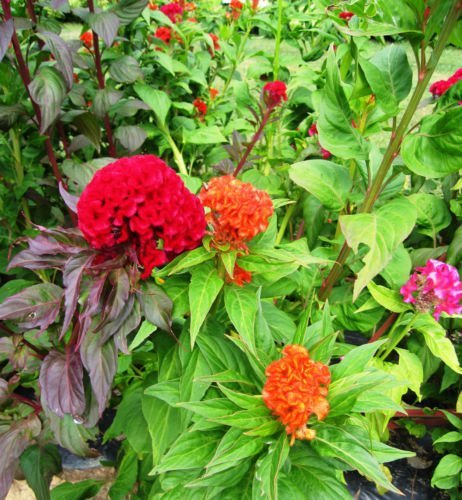 Celosia, mezcla con cresta, Cresta de gallo, flor colorida, 385 semillas! Groco *