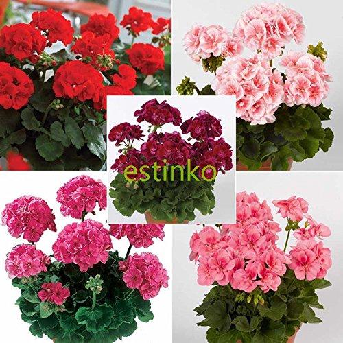 10pcs Semillas Semillas de geranio raras gigante Colección geranio Pelargonium Perenne flor de la planta en maceta de Bonsai
