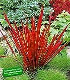 BALDUR-Garten Ziergras 'Red Baron' Japanisches Blutgras Flammengras
