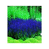 Park Seed Blue Queen Salvia Seeds, Butterfly, Hummingbird, and Bee Friendly, Rich Deep Color Pack of 50 Seeds
