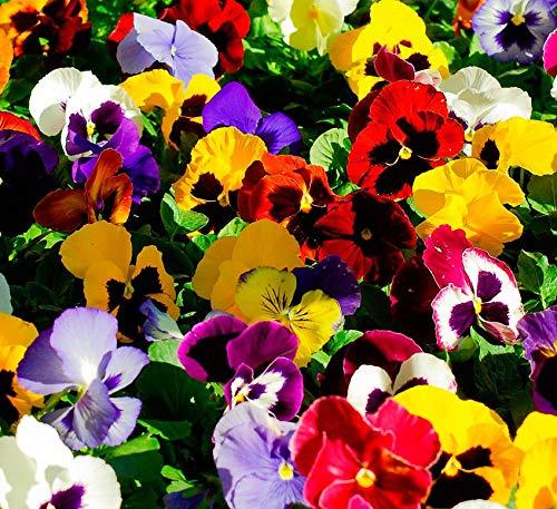 Pensamiento Planta Natural 10cm en Maceta Colores Surtidos