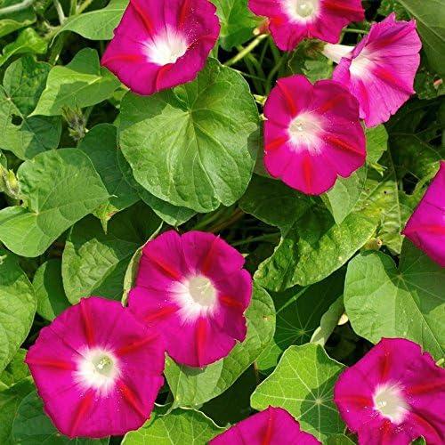 Non GMO Bulk Morning Glory Scarlet Flower Max 49% OFF El Paso Mall Seeds O'Hara 5 Lbs