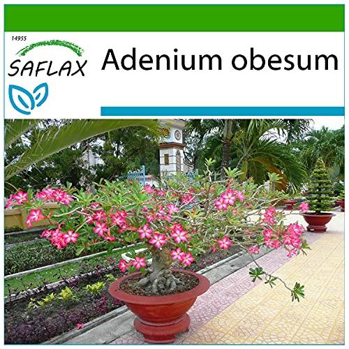 SAFLAX - Rosa del deserto - 8 semi - Con substrato - Adenium obesum
