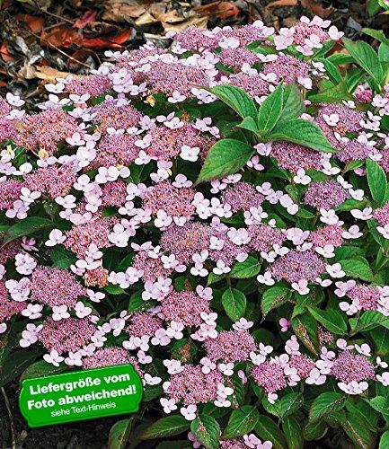 BALDUR Garten Zwerg-Hortensien 'Lace Delight', Hydrangea serrata, 1 Pflanze Gartenhortensie Bodendecker winterhart