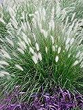 1 x Pennisetum alopecuroides XXL Topf (Ziergras/Gräser/Stauden) Lampenputzergras 5 Liter Topf
