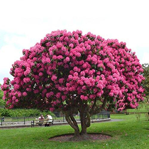 Qulista Samenhaus - 20/30/50pcs Sakura Baum Japanische Blütenkirsche Blumensamen exotische-samen Garten Balkon Outdoor winterhart mehrjährig