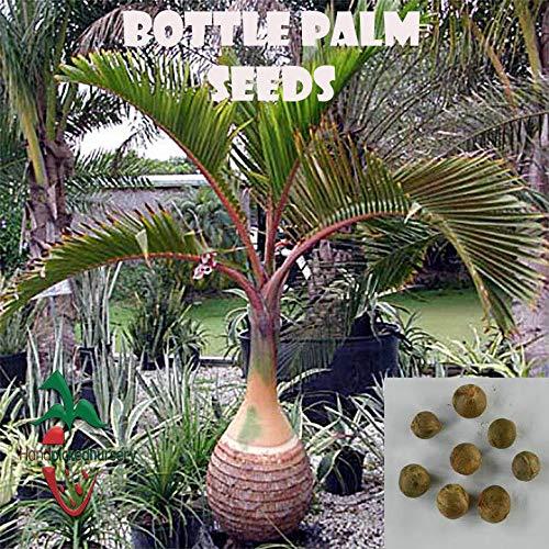 PLAT FIRM GERMINATIONSAMEN: 25 Bottle Palm Samen (Hyophorbe lagenicaulis) von Hand gepflückt Nursery