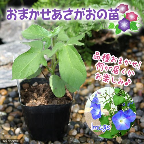 (観葉植物)緑のカーテン おまかせ アサガオの苗 3号(3ポット)