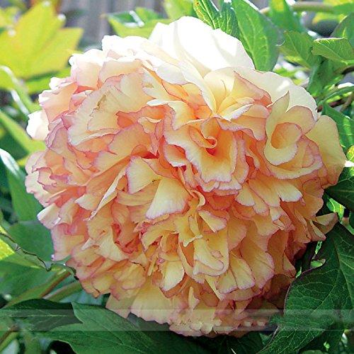 (Kinkaku * Ambizu *) Dark Gold Rare Red Light Kinkaku Arbre Pivoine Graines de fleurs, Paquet professionnel, 5 graines