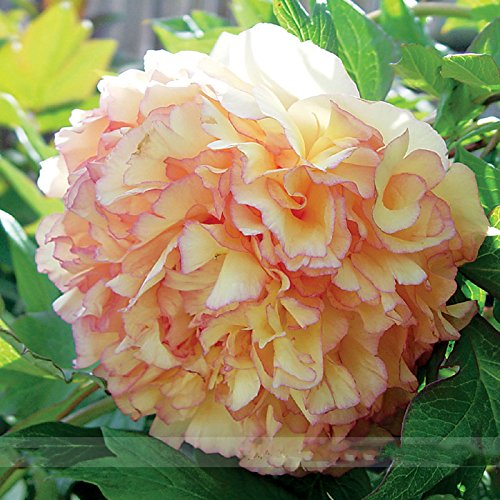 (Kinkaku * Ambizu *) Dark Gold Rare Red Light Kinkaku Arbre Pivoine Graines de fleurs, Paquet professionnel, 5 graines