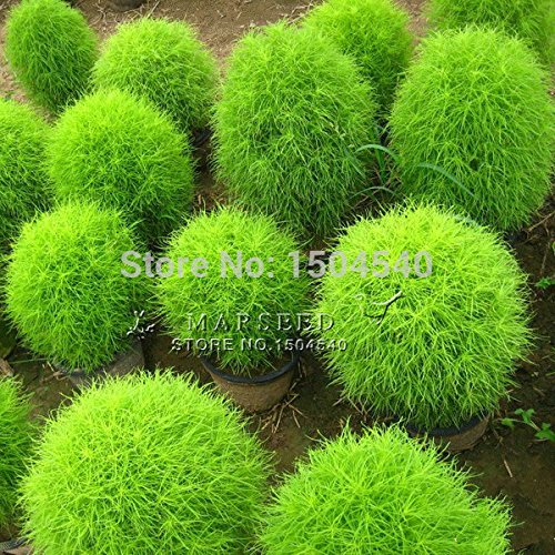 100 graines graines graines scoparia Kochia, Rapid Cultivez Hardy, Summer Cypress