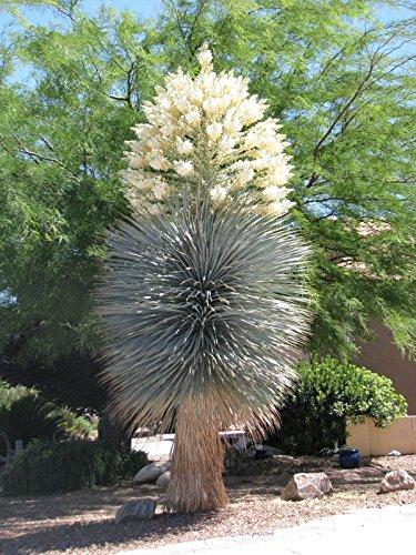 BLUE YUCA exotischer seltener Agave Garten Wüste Baum wie Samen 100 Samen YUCCA RIGIDA,
