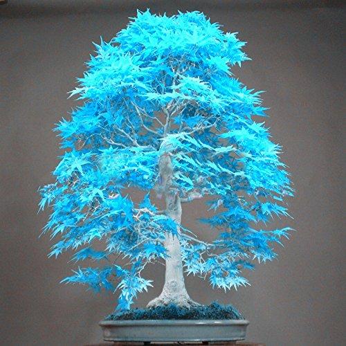 10PCS azul semillas de arce japonés en polvo mini elegante semillas bonsai semillas de árboles bonsai semillas de arce bonsai jardín Inicio