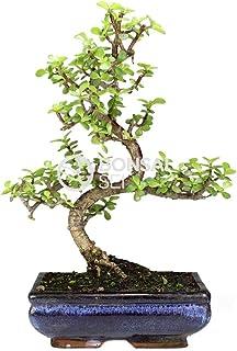 Bonsai - Árbol de Jade, 8 Años (Bonsai Sei - Portulacaria Afra)