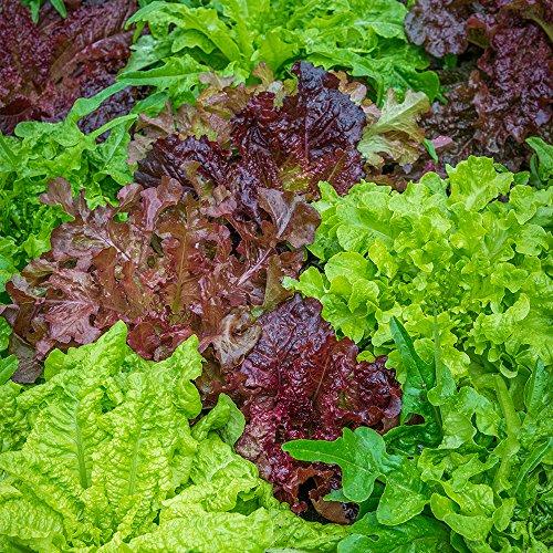 Burpee Looseleaf Blend Lettuce Seeds 1500 seeds