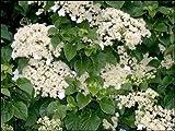 Climbing Hydrangea, Hydrangea anomala petiolaris, Seeds (Vine/Ground Cover) (50)