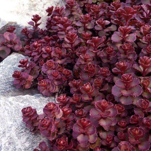 lilolfarm Fetthenne rot Samen, Voodoo, rot Mauerpfeffer Sedum Samen, Heirloom Bodenbedeckung, 50CT
