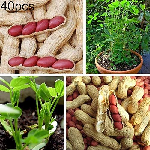 Kimilike Rote Haut Erdnusssamen 40Pcs rote Haut Erdnuss Samen Groundnuts Monkey Nuts Garten Bonsai Gemüse Pflanze 40 Stk Erdnusssamen
