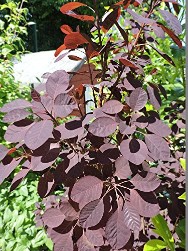 Cotinus coggygria 'Royal Purple' - (Roter Perückenstrauch 'Royal Purple')- Containerware 40-60 cm